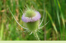Teasel facts and benefits