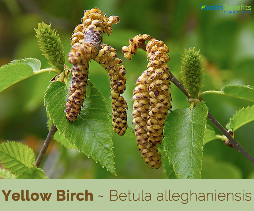 Facts-about-Yellow-Birch