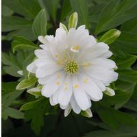 Anemone nemorosa 'Ploeger's Plena'