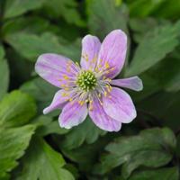 Anemone nemorosa 'Slack Top Pink'