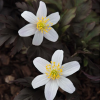 Anemone nemorosa dark leaf form