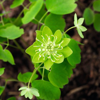 Anemonella thalictroides 'Green Hurricane'