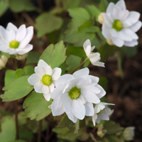 Anemonella thalictroides 'Snowflakes'