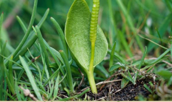Facts about Adder's tongue fern