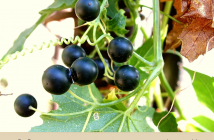 Facts about White Bryony