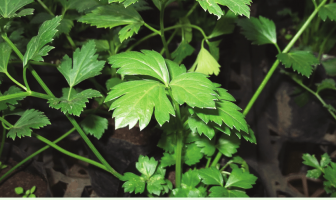 Facts about Wild Celery