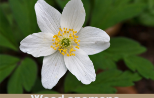 Facts about Wood Anemone