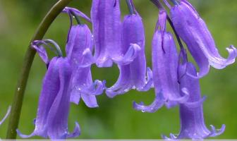 Facts about Bluebells