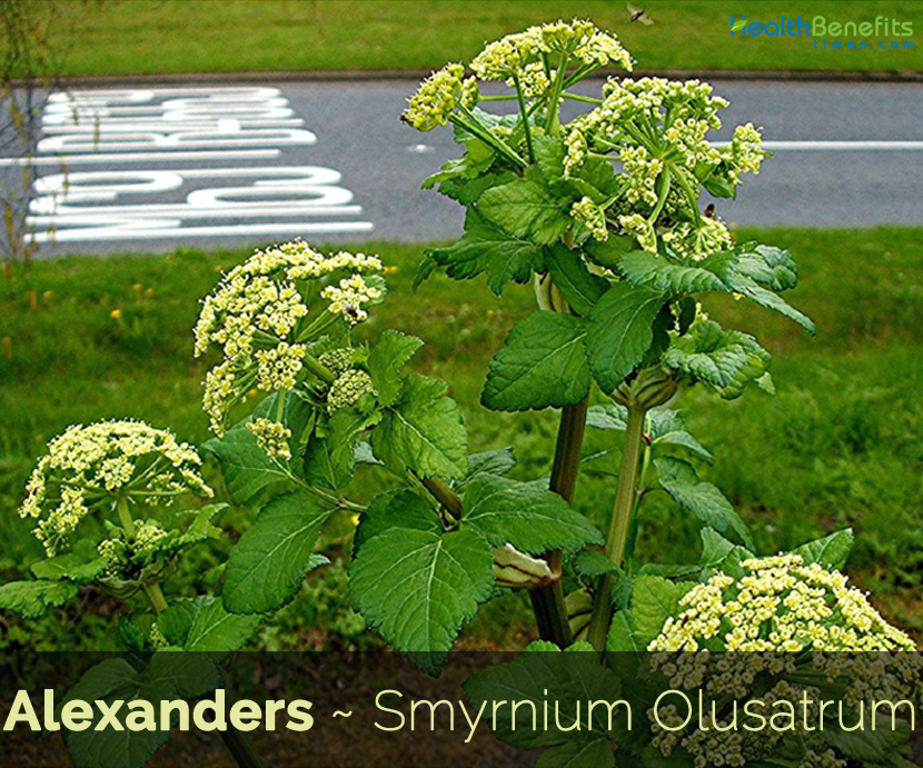 Health-benefits-of-Alexanders