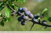 Health benefits of Blackthorn or Sloe