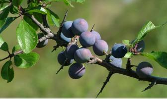 Health benefits of Blackthorn or Sloe