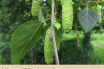Health-benefits-of-Silver-Birch