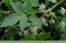 Facts about European Marshwort