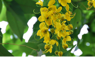 Health benefits of Amaltas