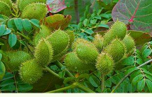 Health benefits of Bonduc Nut