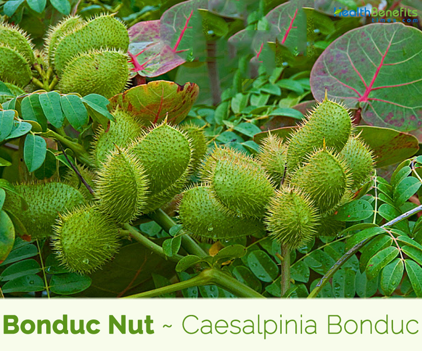 Health benefits of Bonduc Nut