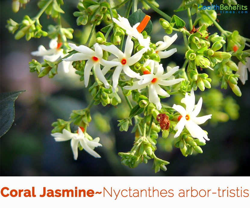 Health-benefits-of-Coral-jasmine