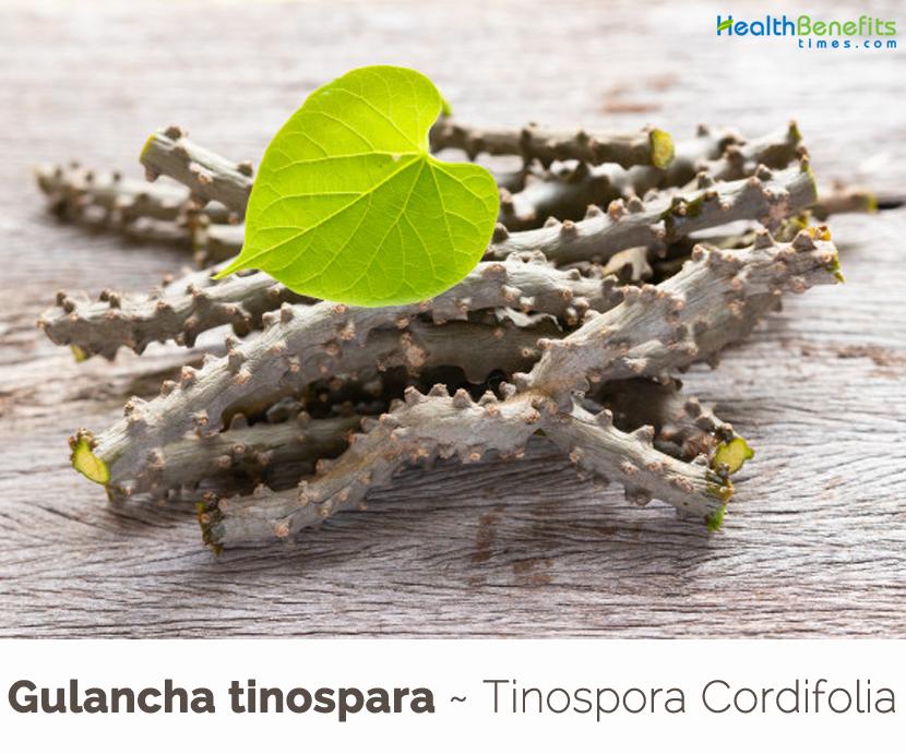 Health benefits of Gulancha tinospara