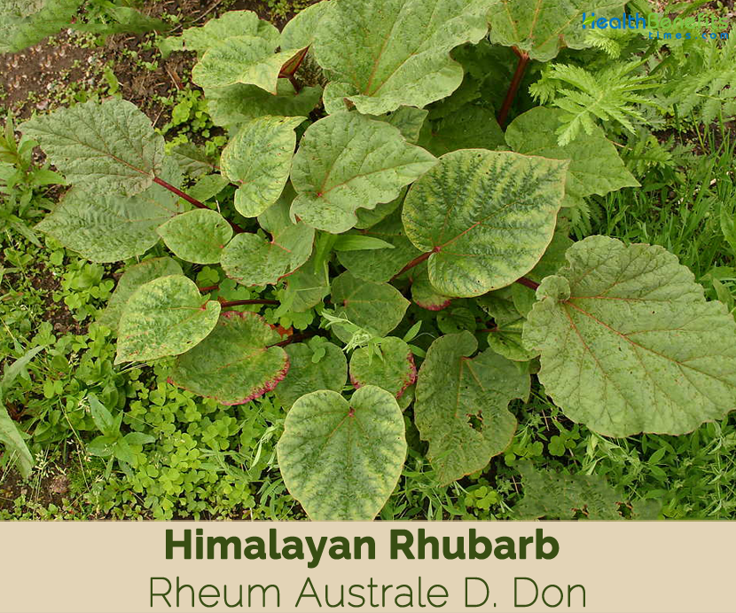 Health benefits of Himalayan Rhubarb