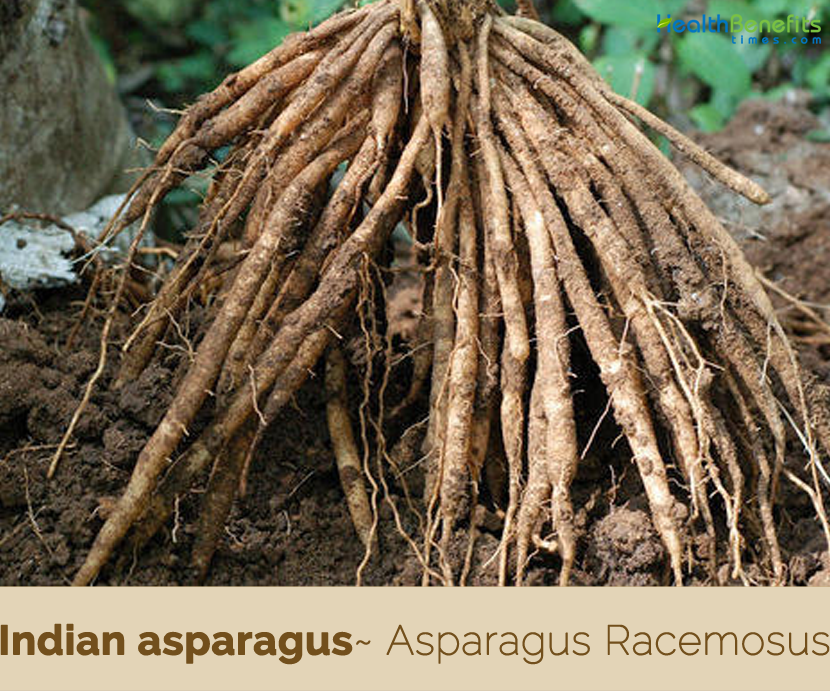 Health benefits of Indian asparagus