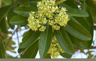 Health benefits of Indian devil tree (Dita)