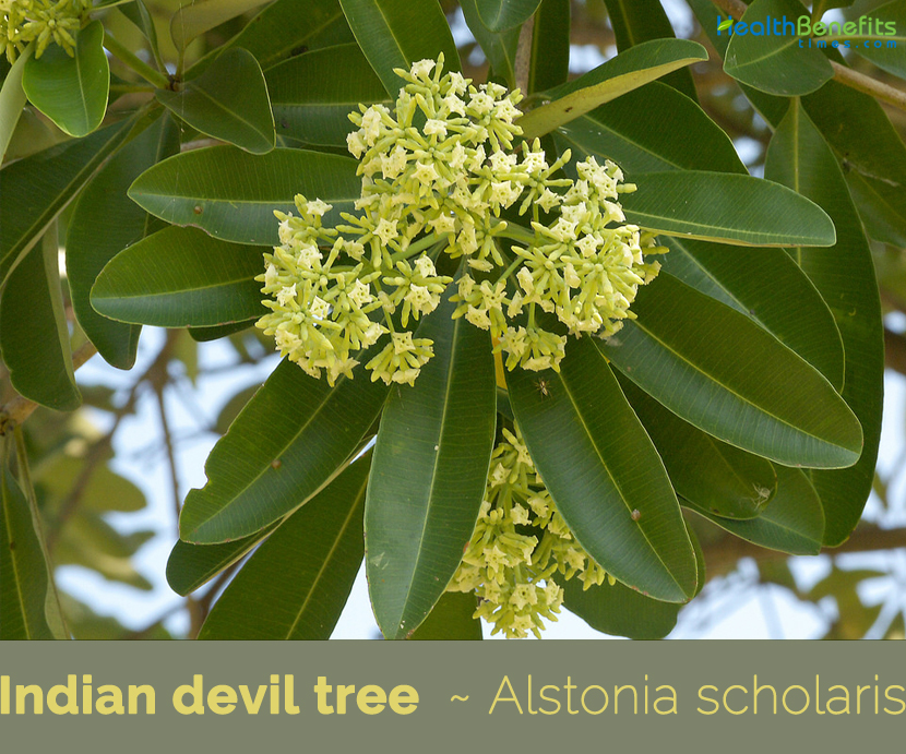 Health benefits of Indian devil tree (Dita)