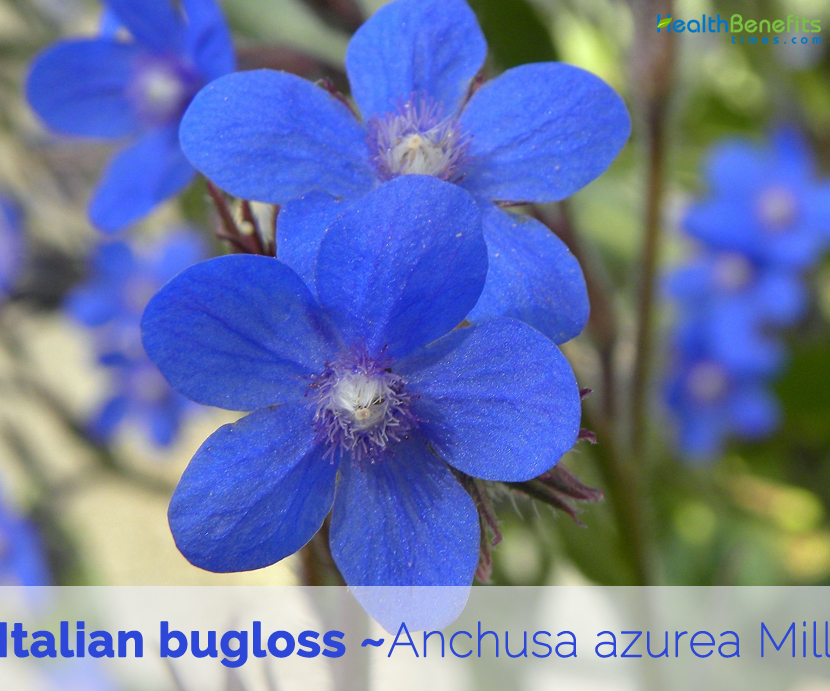 Health benefits of Italian bugloss