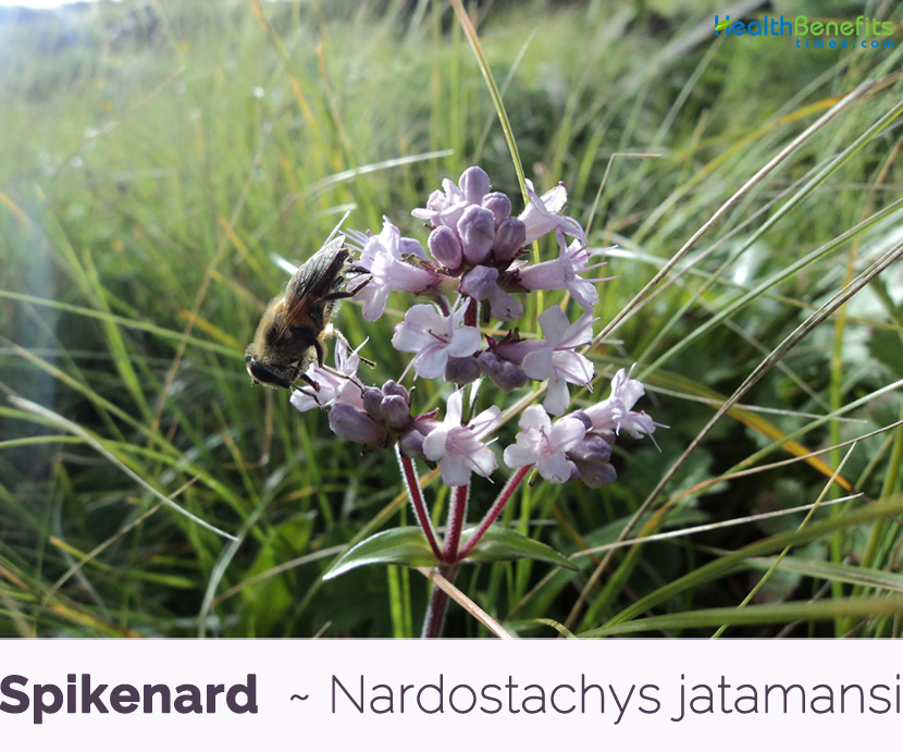 Health benefits of Spikenard (Jatamansi)
