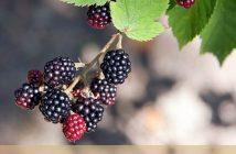 Facts about Elm Leaf Blackberry