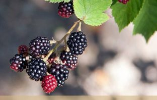 Facts about Elm Leaf Blackberry