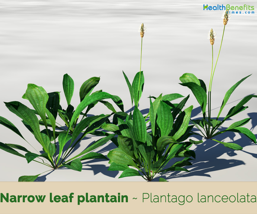 Facts about Narrow leaf plantain