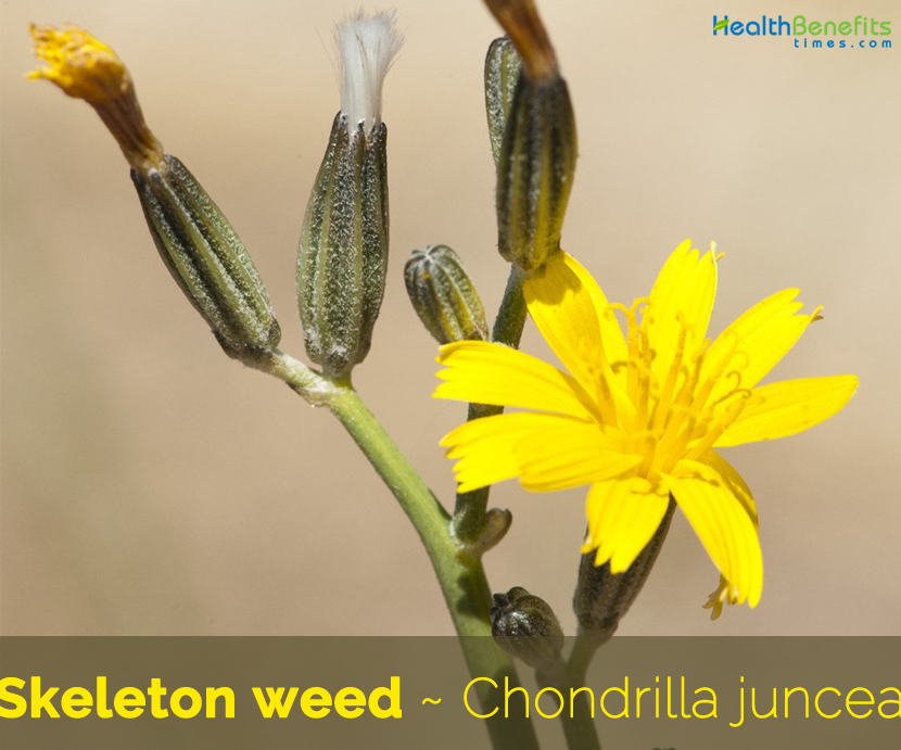 Facts about Skeleton weed