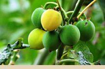 Health benefits of Barbados Nut