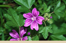 Health benefits of Common Mallow