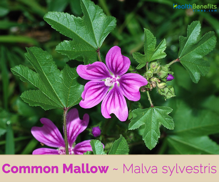 Health benefits of Common Mallow