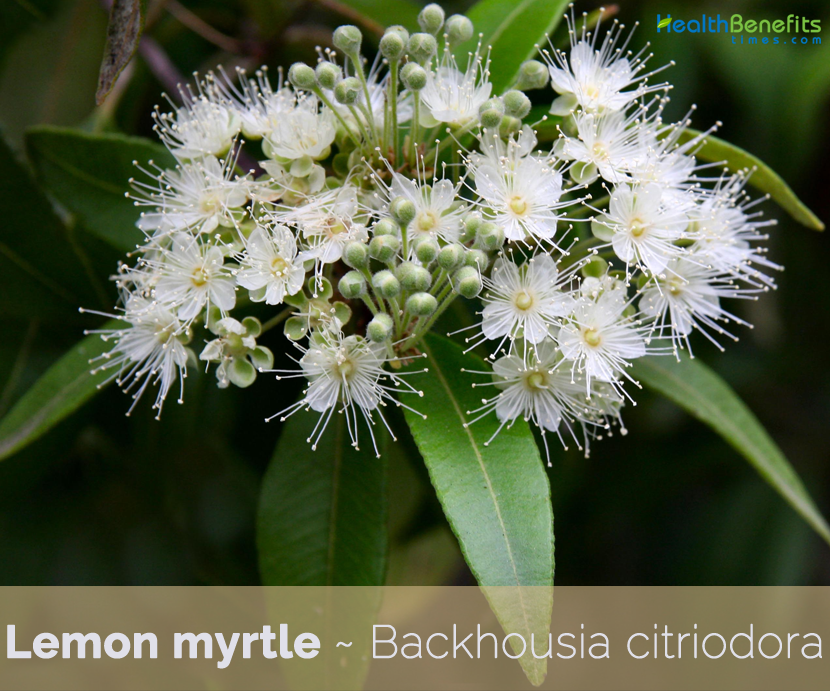Health benefits of Lemon Myrtle