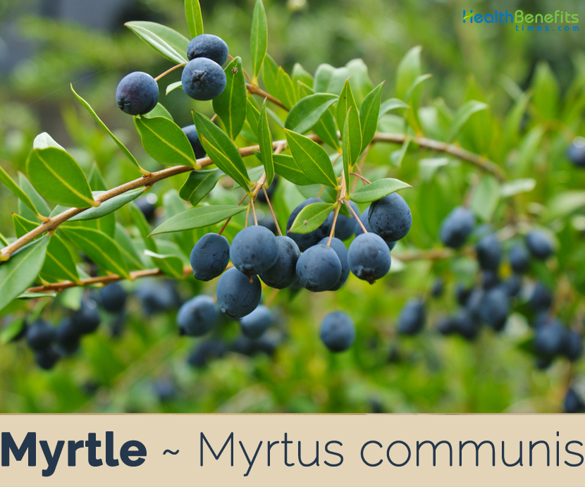 Health benefits of Myrtle