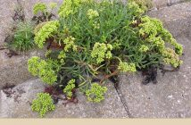 Health benefits of Rock samphire