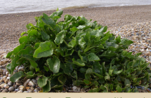 Health benefits of Sea Beet