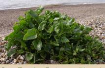 Health benefits of Sea Beet