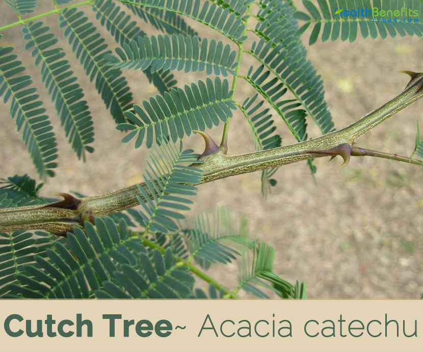 Facts about Cutch Tree