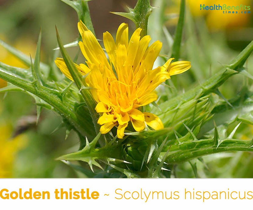 Facts about Golden thistle
