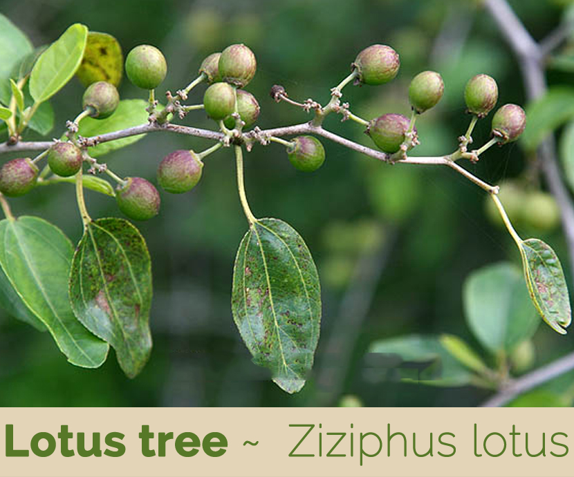 Facts about Lotus tree