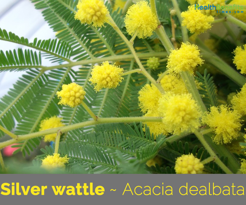 Facts about Silver Wattle