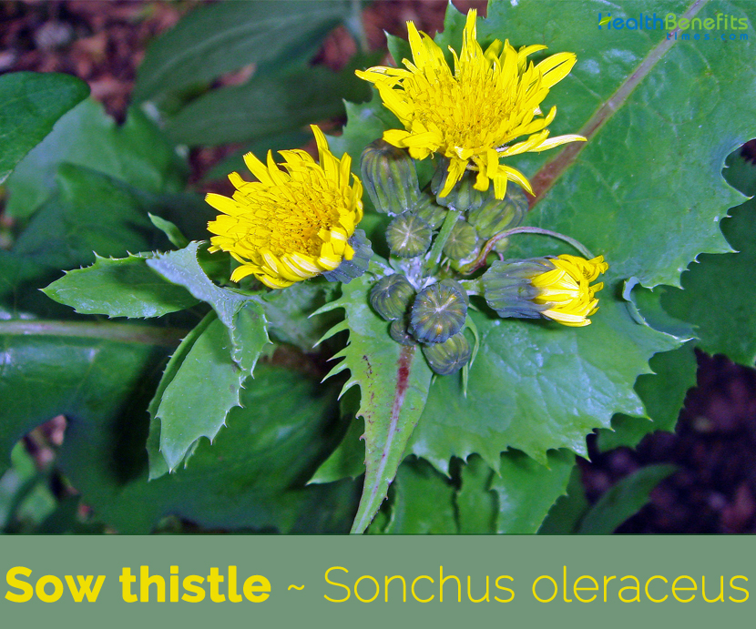 Facts about Sow Thistle