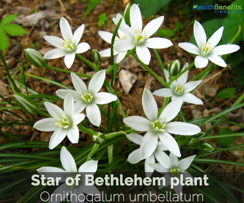 Star Of Bethlehem Plant Facts And Health Benefits