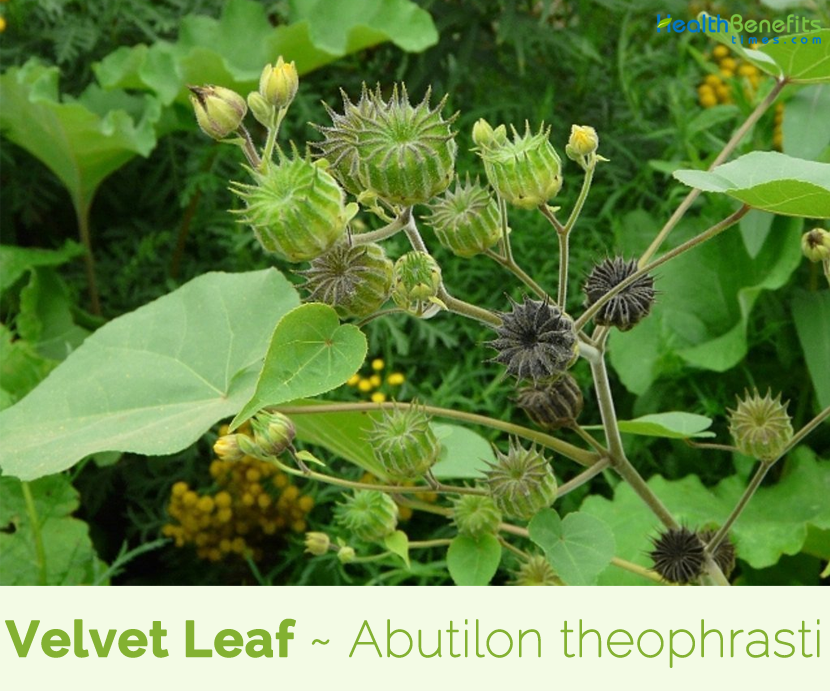 Facts about Velvet Leaf