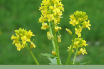 Facts about Yellow Rocket cress