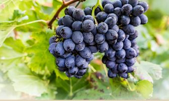 Health benefits of Fox Grape