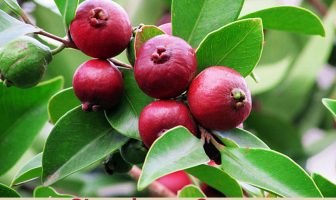 Health benefits of Strawberry Guava